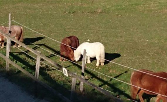 Ponyschule Amigos - Armani mit neuer Freundin