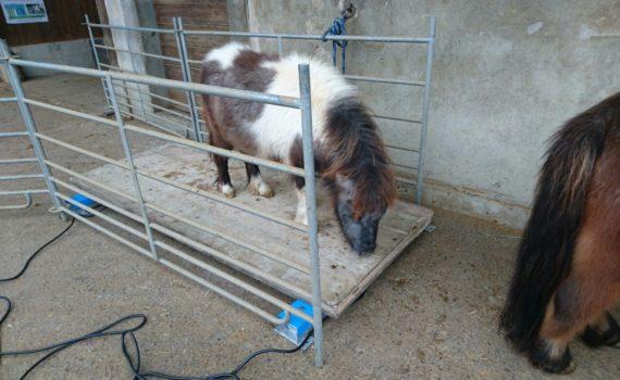 Ponyschule AMIGOS - Ponys auf der Waage